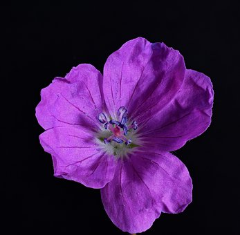 Geranium Himalayense, Geranium Wallichianum