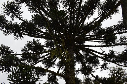 Araucaria, South, Nature, Tree, Green, Flying, Forest