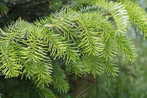 Fir, Green, Tannenzweig, Needles, Branch, Conifer