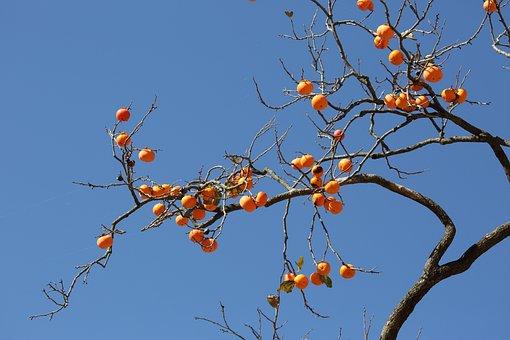 Persimmon, Fruit, Autumn, Home, Korea, In Autumn
