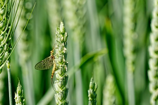 Animal, Insect, Flash In The Pan, Close, Corn Ear