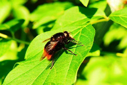 Animals, Invertebrates, Insect, Muchówki, Nature, Mucha