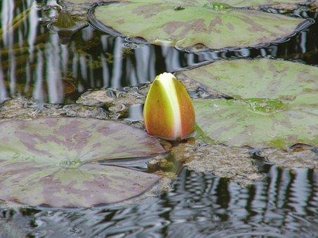 Lake Rose, White Water Lily, Nature, Lake, Rose