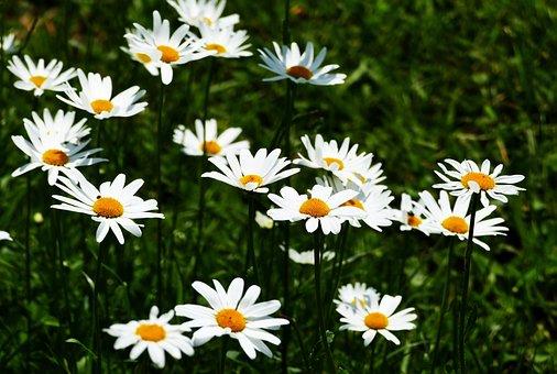 Nature, Landscape, Meadow, Flowers, Marguerite, Sun
