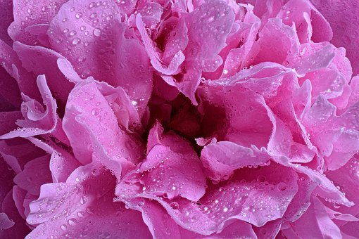 Muscosa, Rose, Blossom, Bloom, Close Up, Macro