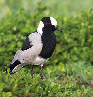 Blacksmith Plover, Blacksmith Lapwing, Bird, Nature