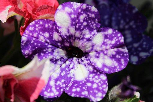 Flower, Garden, Nature, Petunia