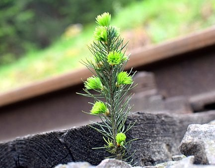 Spruce, Rail, Strange, Nature, Tree, Conifer, Railway