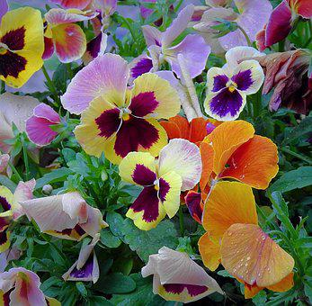 Pansies, Colorful Flowers, Spring
