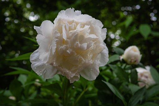 Peony, Garden Rose, White, Rain, Flower, Spring