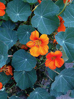 Nasturtium, Orange Flower, Leaves, Peppery, Salads