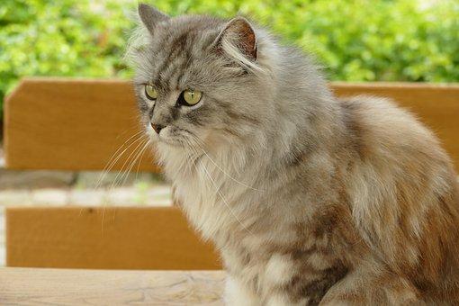 Cat, Pet, Mammal, Fauna, Long-haired
