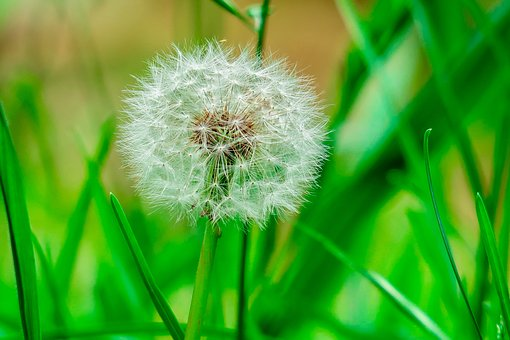 Dandelion, Wild, Plant, Garden, Bloom, Petal, Nature