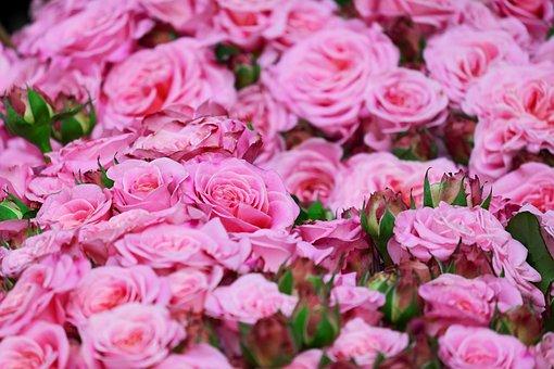 Roses, Pink Roses, Blossom, Bloom, Rose Bloom