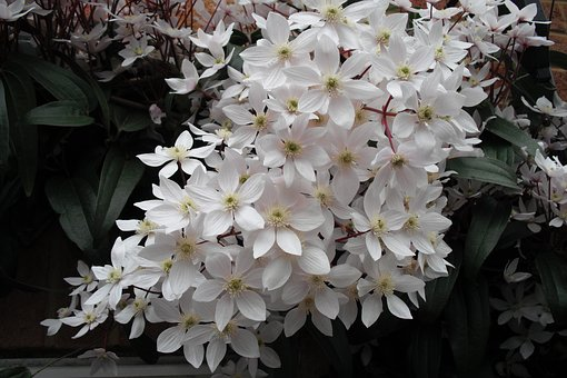 White, Flower, Clematis, Evergreen, Blooms, Pretty