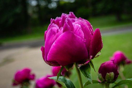 Peony, Garden Rose, Flower, Red, Rain, Spring