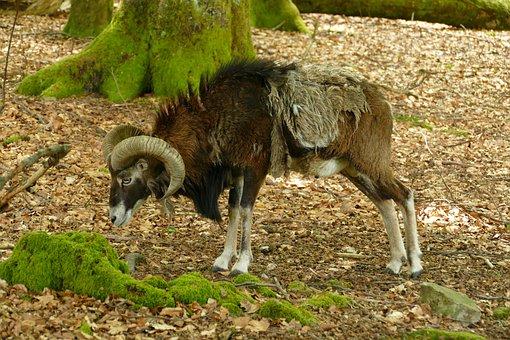 Goat, Ram, Hear, Mammal, Fauna, Nature, Male, Crooked
