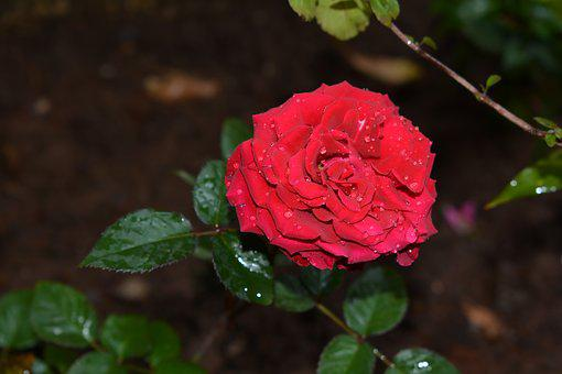 Rose, Flower, Red, Floral, Plant, Nature, Love, Garden