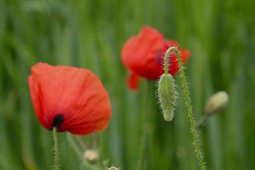 Poppy, Nature, Poppy Flower, Klatschmohn, Red