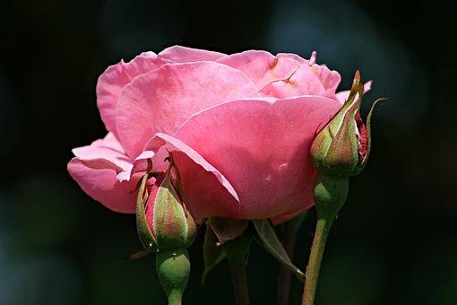 Rose, Pink, Bud, Rose Bloom, Rose Bud, Close, Pink Rose