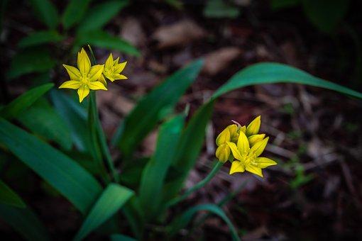 Gagea Lutea, Yellow Star Of Bethlehem, Flower, Spring