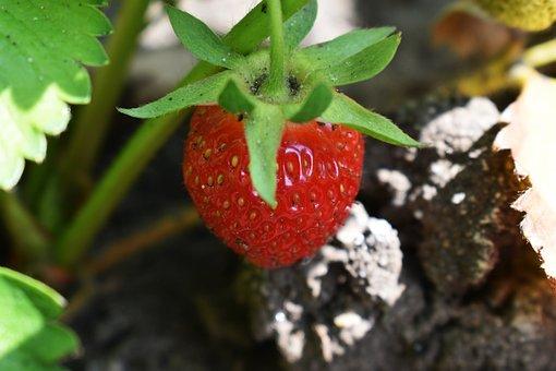 Strawberry, Garden, Red Strawberries, Summer, Sweet