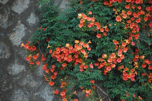 Campsis, Flowers, Summer Flowers, Korean Flower