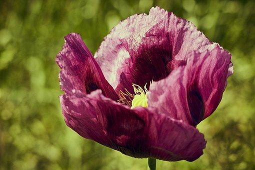 Flower, Poppy, Meadow, Red, Summer, Poppy Flower