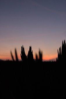 Sunset, Palm, Plant
