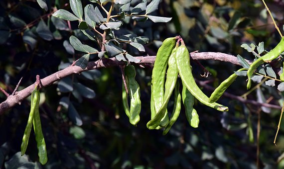 Monkey Bread Fruit, Baobab, Tree, Nature, Branch