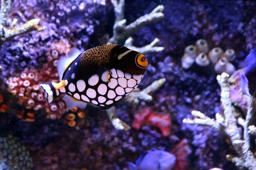 Triggerfish, Triggerfish-clown