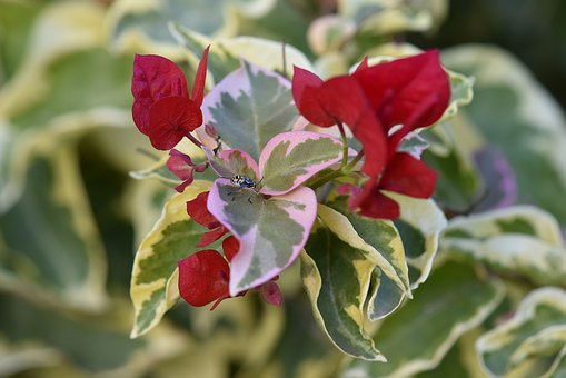 Plant, Variegated, Bougainvillea, Red, Bug, Climber