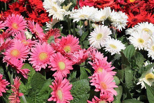Flower Exhibition, Gerber Daisy, Pink, White, Red