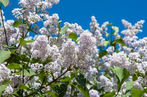 Flowers, Lilac, Lilac Flowers, White Flowers, White