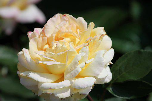 Rose, Yellow, White, Garden Rose, Petals, Close