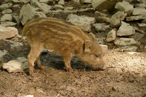 Hog, Sus Scrofa, Ever, Wild Boar, Young, Big, Wild