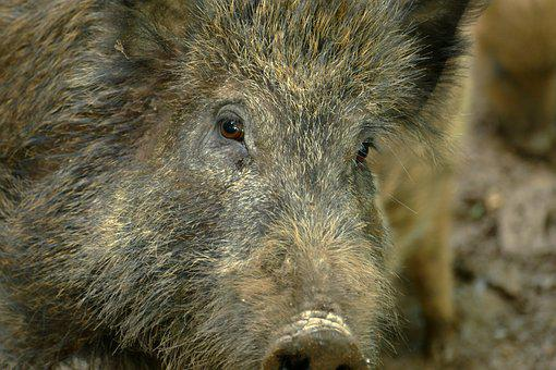Hog, Sus Scrofa, Ever, Wild Boar, Wild, Fauna, Mammal
