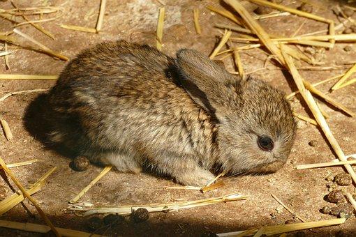 Rabbit, Young, Mammal, Baby, Fauna, Nature