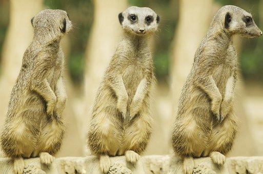 Meerkat, Snout, Baby, Mammal, Guard, Adapted, Suricate