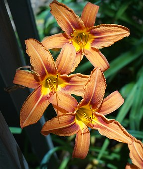 Day Lily Trio, Lily, Orange, Flower, Blossom, Bloom