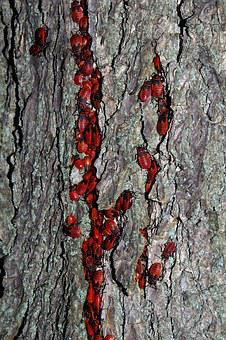 Smith Wingless, Insect, Red, Cemetery, Tree, The Bark