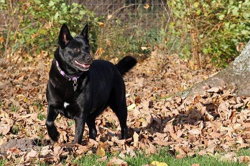Dog, Black Tip, Autumn, Danish, Natural