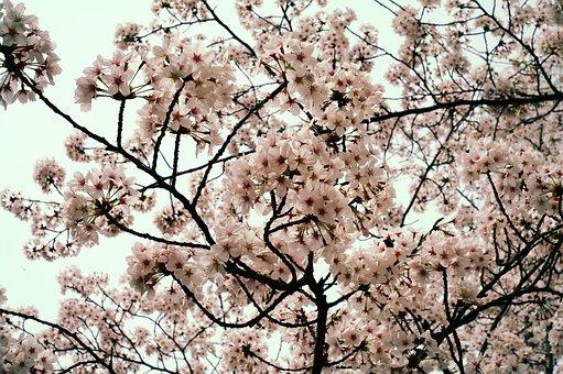 Flowers, Cherry Blossom, Spring, Night, Nature