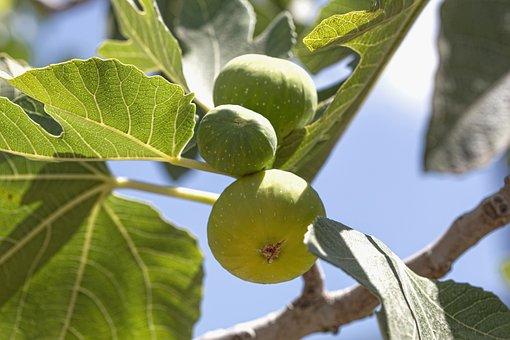 Fig, Tree, Fruit, Green, Food, Leaf, Nature, Fresh