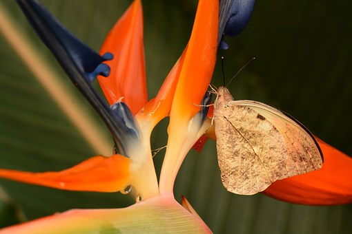 Butterfly, Great Orange Tip, Insect, Hebomoia Glaucippe