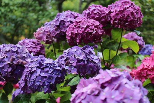 Hydrangea, Purple, Pink, Hues, Flower, Green, Spring