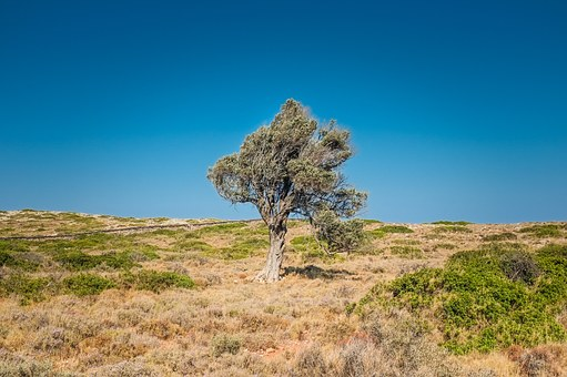 Tree, Arid, Desert, Solo, Individual, Independent