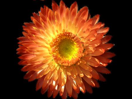 Italicum, Blossom, Bloom, Orange, Yellow, Isolated