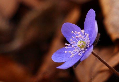 Liverleaf, Hepatica, Spring, Flower, Springtime, Nature