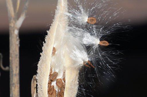 Milkweed, Seeds, Nature, Plant, Pod, Autumn, Natural
